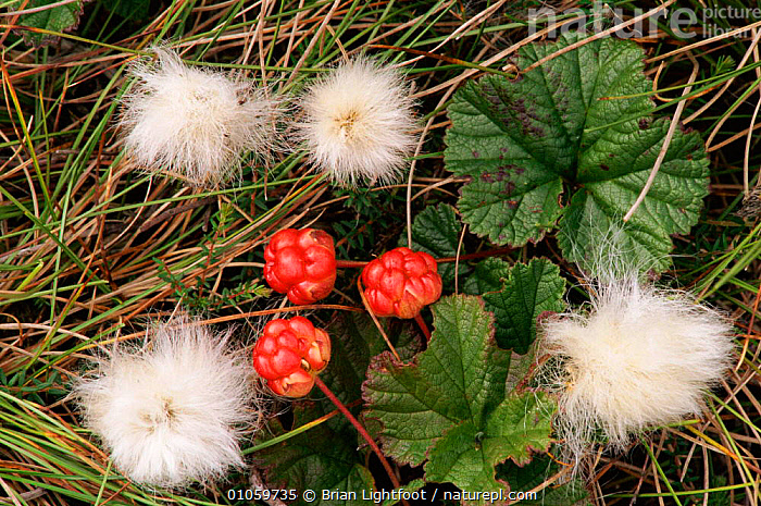 Arctic cloudberry {Rubus chamaemorus} & Cotton grass {Eriophorum angustifolium}, Scotland, UK., BL,EUROPE,COTTON,DISPERSAL,ANGUSTIFOLIUM},UK,FRUIT,{ERIOPHORUM,GRASS,HORIZONTAL,PLANTS,BRIAN,LEAVES,LIGHTFOOT,SCOTLAND,TUNDRA,BERRIES,SEEDS,MIXED SPECIES,UNITED KINGDOM,BRITISH, Brian Lightfoot