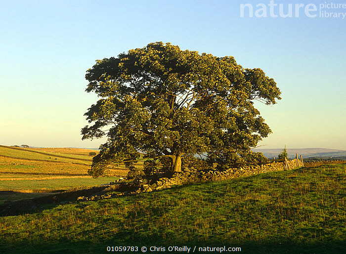 Sycamore tree in field {Acer pseudoplatanus} Yorkshire Dales NP, UK, ACERACEAE,DICOTYLEDONS,EUROPE,FARMLAND,LANDSCAPES,PLANTS,RESERVE,TREES,UK,United Kingdom,British, Chris O'Reilly