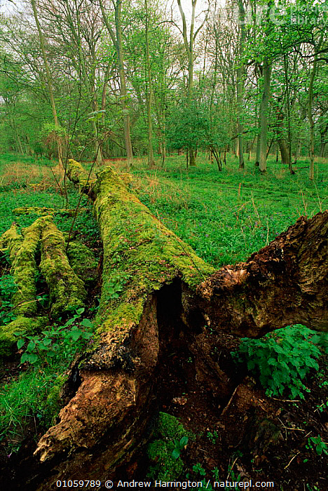 Fallen oak {Quercus robur} Oxon, Uk, BRANCHES,EUROPE,ANDREW,HARRINGTON,WOODLANDS,CLOSE UPS,WOOD,DEAD,DICOTYLEDONS,PLANTS,ENGLAND,FALLEN,LEAVES,TREES,UK,AH,VERTICAL,OXON,BARK,DECOMPOSITION,GREEN,MOSS,TRUNK,UNITED KINGDOM,BRITISH, Andrew Harrington