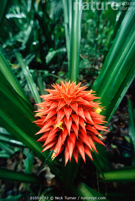 Bromeliad in flower {Aechmea magdalenae} Corcovado NP, Costa Rica, BROMELIADS,LOWERS,PLANTS,RED,RESERVE,TROPICAL RAINFOREST,VERTICAL, Nick Turner