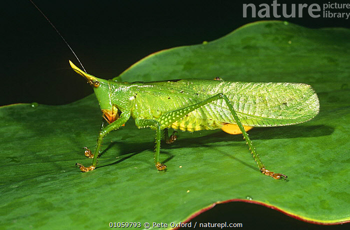 Bush cricket on leaf (Copiphora sp) Yasumi NP, Ecuador, ARTHROPODS,GRASSHOPPERS,GREEN,INSECTS,INVERTEBRATES,LONG HORNED GRASSHOPPERS,ORTHOPTERA,PORTRAITS,RESERVE,SOUTH AMERICA,TROPICAL RAINFOREST,TROPICS, Pete Oxford