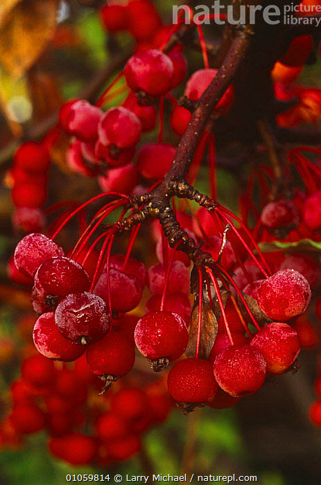 Crab apples {Malus baccata} USA, DICOTYLEDONS,FRUIT,PLANTS,RED,ROSACEAE,TREES,USA,VERTICAL,North America, Larry Michael