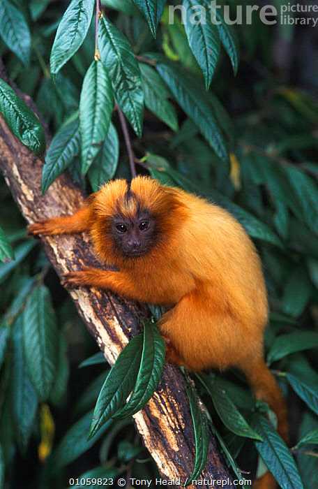 Golden Lion Tamarin {Liontideus rosalia}, CAPTIVE,ENDANGERED,ENGLAND,EUROPE,MAMMALS,ONE,ORANGE,PORTRAITS,PRIMATES,TH,UK,VERTICAL,ZOOS,UNITED KINGDOM,BRITISH,MARMOSETS, Tony Heald