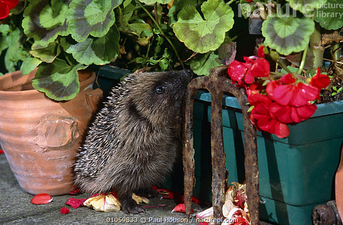 Hedgehog in garden {Erinaceus europaeus} sniffing around potted plants, Yorkshire, UK, ENGLAND,EUROPE,FLOWERS,GARDENS,HEDGEHOGS,HUNTING,INSECTIVORES,MAMMALS,NIGHT,SEARCHING,UK,VERTEBRATES,United Kingdom,British, Paul Hobson