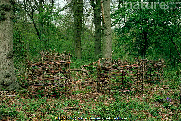 Tree guards to protect young trees from deer. UK, MAMMALS,UK,GUARDS,YOUNG,WOODLANDS,HORIZONTAL,EUROPE,TREES,DAVIES,LANDSCAPES,ADRIAN,ADA,PROTECT,PROTECTION,UNITED KINGDOM,PLANTS,BRITISH, Adrian Davies