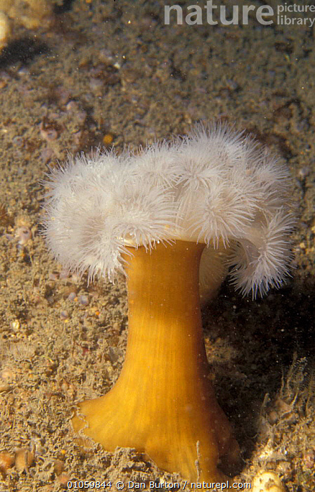 Plumose anemone {Metridium senile} Devon, UK, ANTHOZOANS,MARINE,SEA ANEMONES,UNDERWATER,COASTAL WATERS,FEEDING,PORTRAITS,ATLANTIC,INVERTEBRATES,TEMPERATE,LITTORAL,Intertidal, Dan Burton
