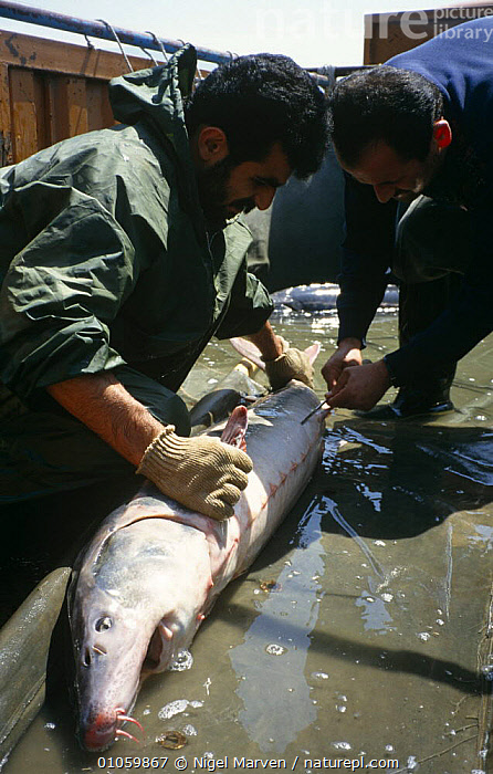 Fishermen with Common atlantic sturgeon caught for caviar (Acipenser sturio) Caspian sea, Iran  ,  ARABIA,BOATS,DEATH,DEMAND,EGGS,ENDANGERED,FISH,FISHERIES,FRESHWATER,HUNTING FOOD,LUXURY,MIDDLE EAST,OSTEICHTHYES,PEOPLE,STURGEONS,VERTEBRATES,VERTICAL  ,  NIGEL MARVEN