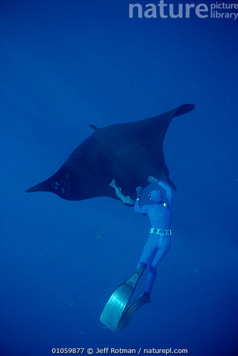 Manta ray with diver {Manta birostris} Soccora Is, Mexico, Pacific, BLUE,CENTRAL AMERICA,DIVING,FISH,JR,PACIFIC,PEOPLE,PERSON,SNORKELING,SNORKLER,SOCCORA,UNDERWATER,VERTICAL,CENTRAL-AMERICA, Jeff Rotman
