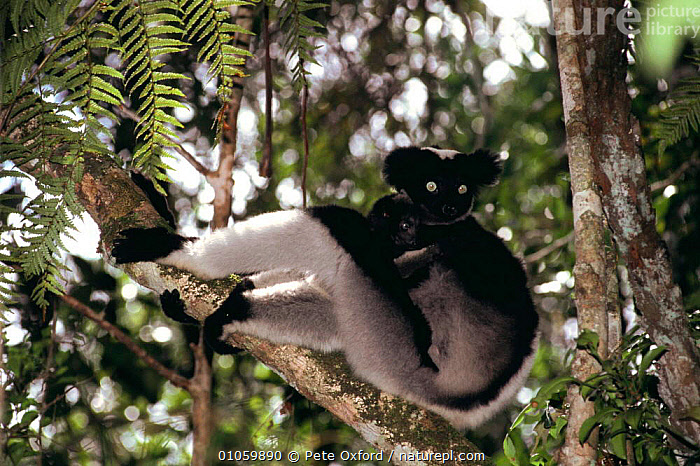 Indri with young in tree {Indri indri} Perinet SR, Madagascar, BABIES,ENDANGERED,ENDEMIC,FAMILIES,INDRI,MADAGASCAR,MAMMALS,PARENTAL,PRIMATES,RESERVE,VERTEBRATES,YOUNG,Lemurs, Pete Oxford