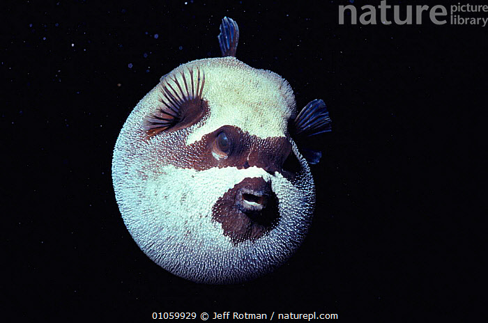 Masked pufferfish inflated at night {Arothron diadematus} Red Sea, Egypt, CIRCULAR,COMIC,CUTE,DEFENSIVE,FISH,HORIZONTAL,INFLATING,JR,NIGHT,ONE,PUFFING,ROUND,SEA,BEHAVIOUR,NORTH-AFRICA,Africa, Jeff Rotman