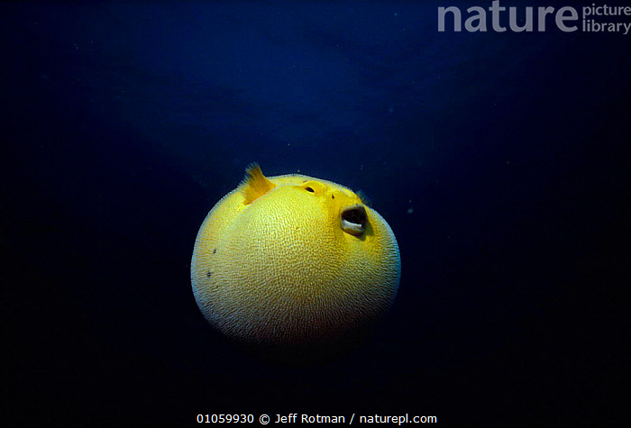 Guineafowl pufferfish inflated at night {Arothron meleagris} Galapagos, Pacific, COMIC,CUTE,DEFENSIVE,FISH,GALAPAGOS,INFLATED,JR,NIGHT,PACIFIC,PUFFER FISH,ROUND,YELLOW,BEHAVIOUR, Jeff Rotman