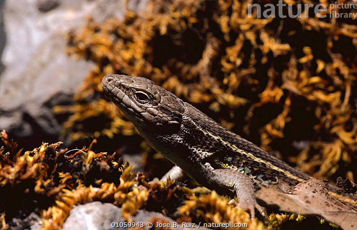 Lizard {Psammodromus algirus} Alicante, Spain, EUROPE, SPAIN, LIZARDS, REPTILES, VERTEBRATES, WALL-LIZARDS, Jose B. Ruiz