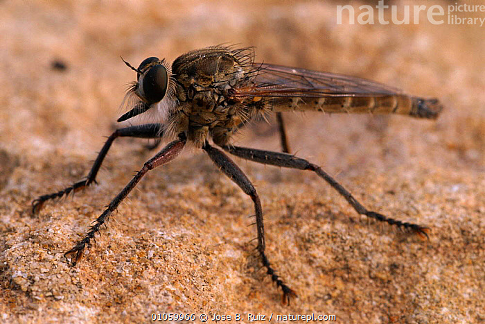 Robber fly portrait {Asilus capraeniformis} Alicante, Spain, JOSE,ARTHROPODS,PORTRAITS,SPAIN,EUROPE,HORIZONTAL,INSECTS,INVERTEBRATES,JRU,RUIZ,ALICANTE,DIPTERA, Jose B. Ruiz