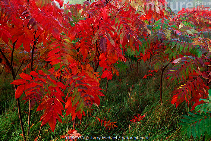 Sumac  {Rhus sp} Wisconsin, USA, RED,LM,HORIZONTAL,USA,MICHAEL,SHRUBS,PLANTS,LAWRENCE,WISCONSIN,LEAVES,NORTH AMERICA, Larry Michael