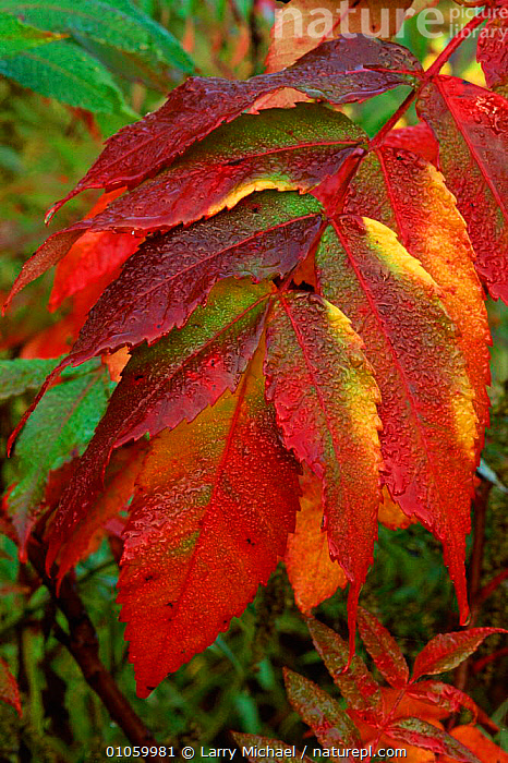 Leaves of Sumac tree {Rhus coriaria} Wisconsin, USA, RED,TREES,WISCONSIN,AUTUMN,VERTICAL,LM,USA,SHRUBS,MICHAEL,LEAVES,LAWRENCE,NORTH AMERICA,PLANTS, Larry Michael