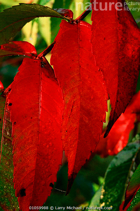 Staghorn sumac leaves {Rhus typhina} Wisconsin, USA, LM,PLANTS,LAWRENCE,WISCONSIN,RED,AUTUMN,MICHAEL,LEAVES,VERTICAL,USA,AMERICA,NORTH AMERICA, Larry Michael