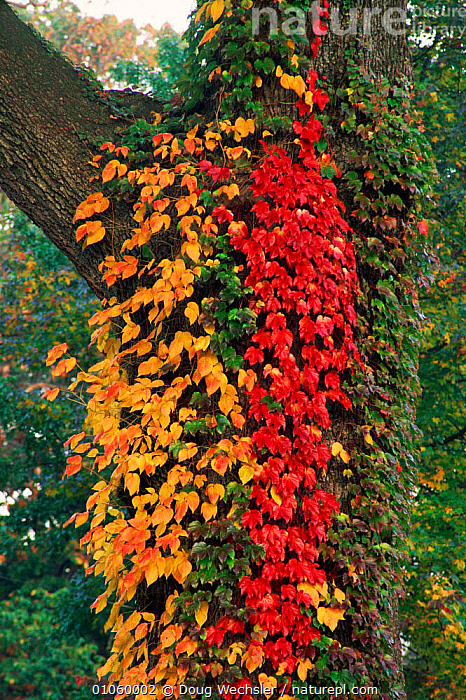 Poison ivy {Rhus radicans} and Boston ivy on tree trunk Pensylvania, USA, POISONOUS,AUTUMN,BACKGROUNDS,VERTICAL,DOUG,CLIMBERS,MIXED SPECIES,WECHSLER,COLOURFUL,AMERICA,BOSTON,USA,PENSYLVANIA,DWE,PATTERNS,TREES,TRUNKS,NORTH AMERICA,PLANTS, Doug Wechsler
