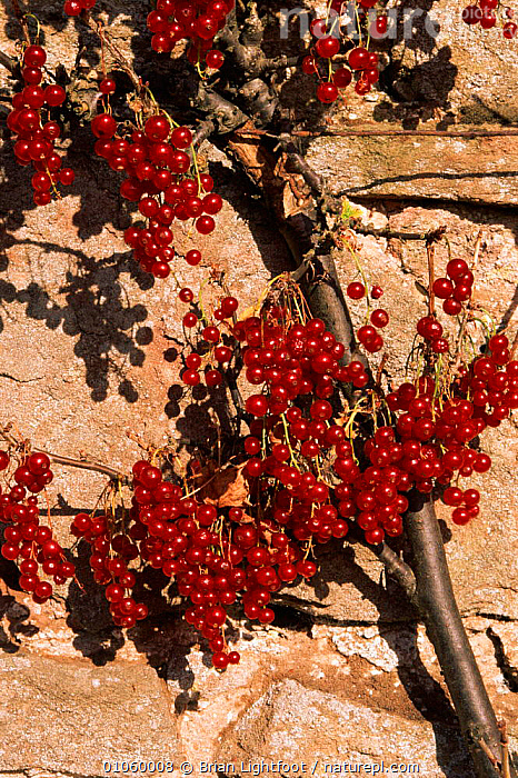 Cultivated redcurrant fruit {Ribes rubrum} Scotland, CULTIVATED,BL,LIGHTFOOT,SCOTLAND,BERRIES,EDIBLE,SEEDS,CROP,EUROPE,BRIAN,FRUIT,GARDENS,RED,VERTICAL,PLANTS, Brian Lightfoot