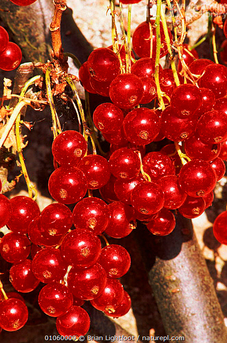 Cultivated redcurrant fruit {Ribes rubrum} Scotland, BERRIES,GARDENS,PATTERNS,EUROPE,SCOTLAND,EDIBLE,RED,VERTICAL,BL,BRIAN,FRUIT,CULTIVATED,LIGHTFOOT,SEEDS,PLANTS, Brian Lightfoot