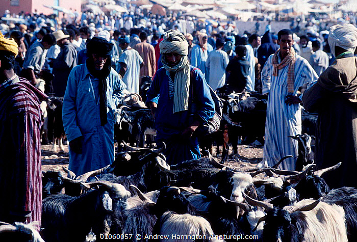 Saturday Camel-market Tourags Guelmin Morocco, North Africa, 35,AFRICA,AH,GOATS,HORIZONTAL,MARKETS,NORTH,NORTHERN AFRICA,PEOPLE,SATURDAY,SHEEP,TRADE,NORTH-AFRICA, Andrew Harrington
