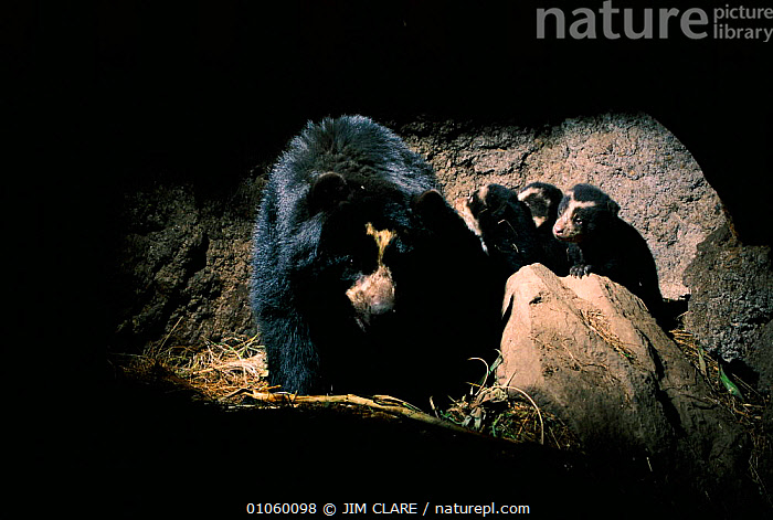 Spectacled bear with cubs in den {Tremarctos ornatus} Andes, Ecuador, MAMMALS,SOUTH AMERICA,FAMILIES,CARNIVORES,HIGHLANDS,UNDERGROUND,BEARS,BABIES,HOMES, JIM CLARE