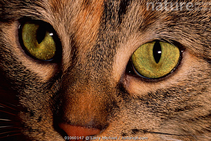 Domestic cat's eyes {Felix catus} USA, EYES,LAWRENCE,MICHAEL,PET,CLOSE UPS,HORIZONTAL,LM,MAMMALS,USA,CARNIVORES,NORTH AMERICA, Larry Michael