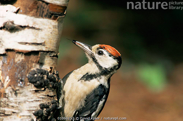 Great spotted woodpecker juvenile {Dendrocopus major} on silver birch trunk, Wiltshire, UK, BARK,BIRDS,ENGLAND,EUROPE,TREES,TRUNKS,UK,VERTEBRATES,WOODPECKERS,United Kingdom,Plants,British, David Kjaer