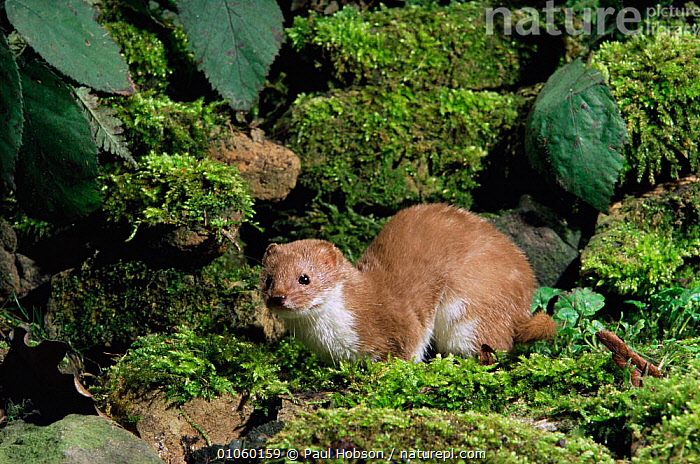 Weasel on mossy wall {Mustela nivalis} captive UK., EUROPE,ENGLAND,CARNIVORES,MUSTELIDS,MOSS,MAMMALS,HORIZONTAL,UK,United Kingdom,British, Paul Hobson