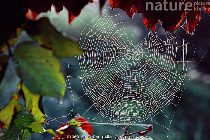 Spider's web {Arachnida} Scotland, UK, ARACHNIDS,ARTHROPODS,DEW,EUROPE,INVERTEBRATES,SCOTLAND,SPIDERS,UK,WEBS,United Kingdom,British, United Kingdom,,Beauty in nature,,,beauty in nature,, Doug Allan
