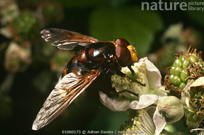 Hoverfly on Blackberry flower (Volucella sonaria) UK, AUTUMN,DIPTERA,EDIBLE,ENGLAND,EUROPE,FLIES,FLOWERS,FRUIT,HOVER FLIES,INSECTS,INVERTEBRATES,PLANTS,POLLINATION,UK,United Kingdom,British , hoverflies, Adrian Davies