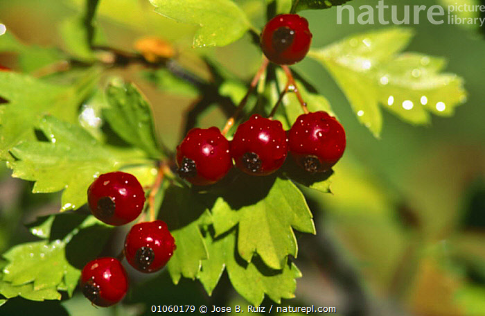 Hawthorn berries with raindrops {Crataegus monogyna} Spain, DICOTYLEDONS,EUROPE,FRUIT,HORIZONTAL,PLANTS,RAIN,RED,ROSACEAE,SPAIN,Weather, Jose B. Ruiz