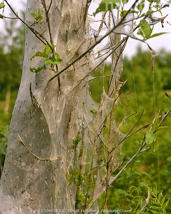 Bird cherry tree {Prumus padus} covered with webs and caterpillar larvae of Ermine moth {Yponomeuta sp} Sweden, DICOTYLEDONS,EUROPE,INSECTS,LARVAE,LEPIDOPTERA,PLANTS,ROSACEAE,SCANDINAVIA,SWEDEN,TREES,VERTICAL,Invertebrates, Bengt Lundberg