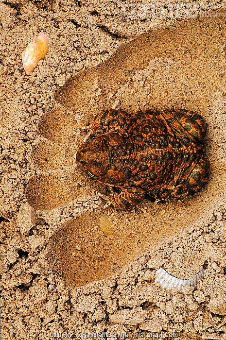 Natterjack toad in human footprint on sand {Bufo calamita} Holland. C, AMPHIBIANS,FOOTPRINT,VERTICAL,SAND,OTTERPARK,TOES,CAPTIVE,HOLLAND,HUMAN,SKIN,BENVIE,NB,SAND,DUNES,NETHERLANDS,NL,COASTS,EUROPE,HORIZONTAL,NIALL,ANURA,TOADS, Niall Benvie