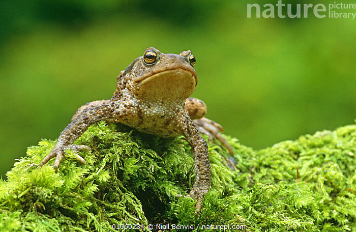 Common toad {Bufo bufo} on mossy stump, Aberfoyle, Stirlingshire, Scotland, UK, captive, AMPHIBIANS,ANURA,EUROPE,FACES,MOSS,PLANTS,PORTRAITS,SCOTLAND,SKIN,TOADS,UK,VERTEBRATES,United Kingdom,British, Niall Benvie