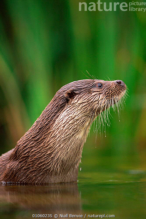 European river otter {Lutra lutra}, Otterpark Aqualutra, Netherlands, captive, LEEUWARDEN,WATER,NB,AQUALUTRA,FUR,PORTRAIT,MAMMALS,CARNIVORES,NL,EUROPE,OTTERPARK,OTTERS,WHISKERS,BENVIE,VERTICAL,NIALL,FACES,HOLLAND,NETHERLANDS,MUSTELIDS,Catalogue1, Niall Benvie