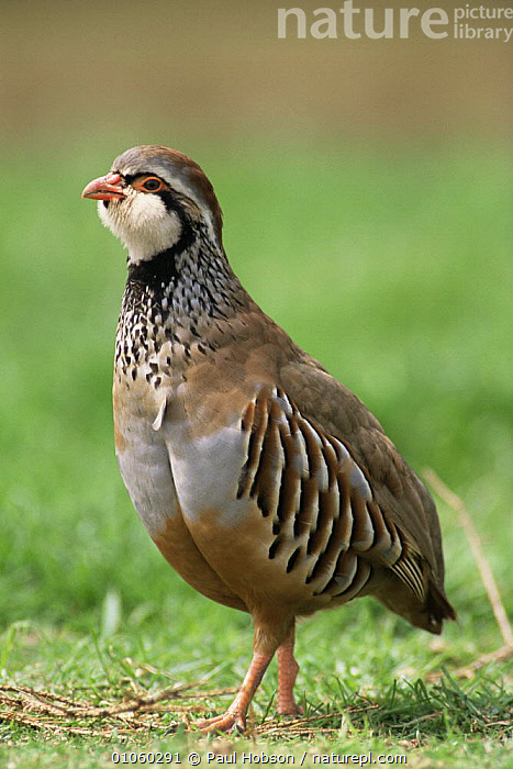 Portrait of Red legged partridge {Alectoris rufa} in grass, UK., BIRDS,ENGLAND,EUROPE,FACES,FARMLAND,GALLIFORMES,GAME BIRDS,HORIZONTAL,PARTRIDGE,PORTRAITS,UK,VERTEBRATES,VERTICAL,United Kingdom,British, Paul Hobson