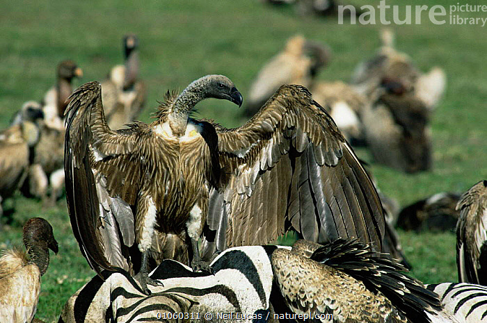 White backed vulture {Gyps africanus} on Zebra carcass. Tanzania, East Africa., AFRICA,BEHAVIOUR,BIRDS,BIRDS OF PREY,EAST AFRICA,FEATHERS,FEEDING,POWERFUL,RESERVE,SCAVENGING,VERTEBRATES,VULTURES,WINGS,Concepts, Neil Lucas