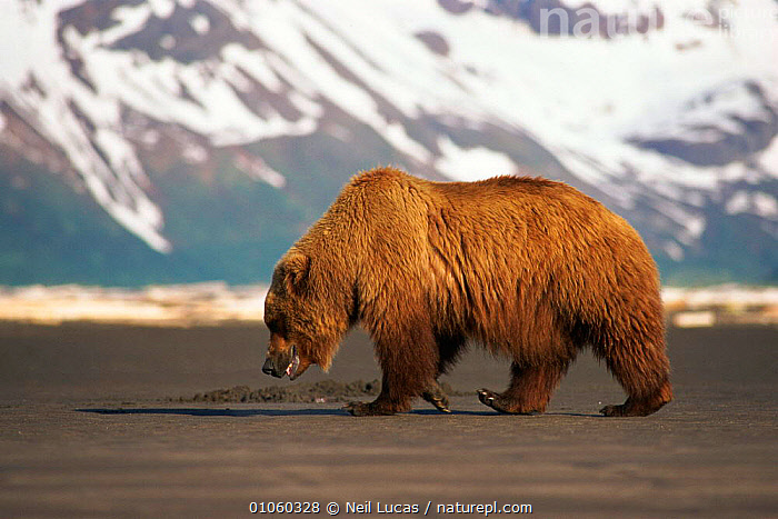 Brown bear {Ursus arctos} walking with mountains and snow in background. Halo Bay, Alaska., BAY,MAMMALS,HALO,MOUNTAINS,BEACH,HORIZONTAL,SNOW,WALKING,CARNIVORES,LANDSCAPES,SAND,NL,ALASKA,NEIL,LUCAS, Neil Lucas