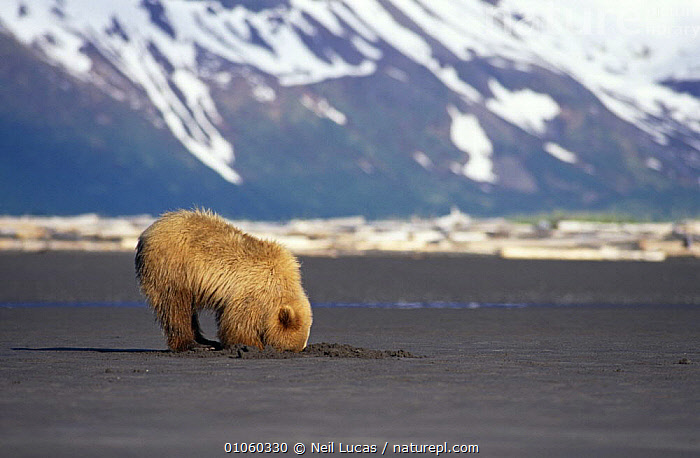 Brown bear {Ursus arctos} cub with head in ground, clamming in mud, Halo Bay, Alaska, USA, ACTION,BEARS,CARNIVORES,COASTS,FEEDING,HUNTING,JUVENILE,MAMMALS,MUD,NORTH AMERICA,SCAVENGING,SEARCHING,SNOW,USA,VERTEBRATES,YOUNG, Neil Lucas