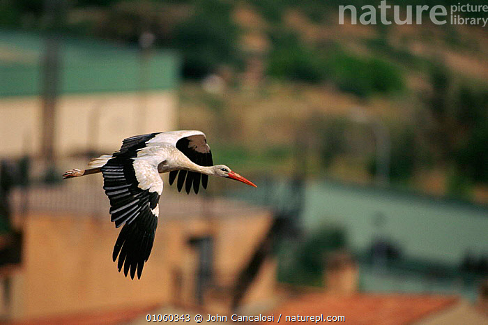 White stork {Ciconia ciconia} flying over urban area, Spain., FLYING,SPAIN,,WINGS,BUILDINGS,,CANCALOSI,ACTION,HORIZONTAL,JOHN,EUROPE,JCA,BIRDS,FLIGHT,URBAN, John Cancalosi