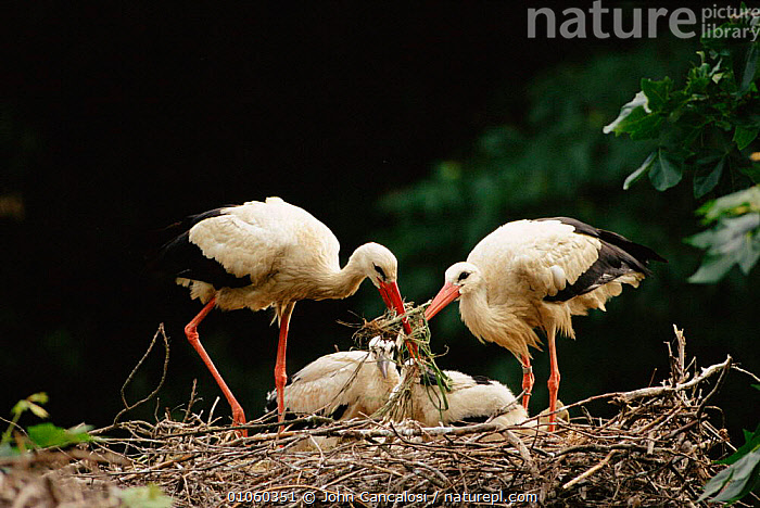 White stork {Ciconia ciconia} pair on nest with young. Spain., JUVENILE,JOHN,YOUNG,BIRDS,CANCALOSI,PAIR,NEST,NESTS,PARENTAL,HORIZONTAL,FAMILIES,NESTLINGS,EUROPE,MALE FEMALE PAIR,NESTING BEHAVIOUR,SPAIN,TWO,JCA,,REPRODUCTION, John Cancalosi