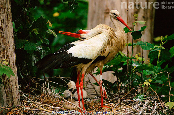 White stork {Ciconia ciconia} pair at nest with chick, male displaying. Spain., JUVENILE,NESTLING,JCA,JOHN,SPAIN,MALE FEMALE PAIR,DISPLAY,FAMILIES,BONDING,CANCALOSI,PAIR,YOUNG,HORIZONTAL,BIRDS,EUROPE,NEST,DISPLAYING,,CHICK,MALE,NESTING BEHAVIOUR,REPRODUCTION,COMMUNICATION, John Cancalosi