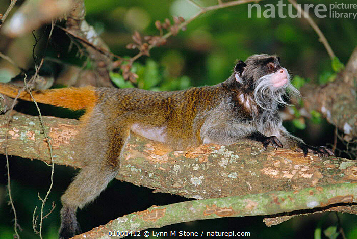 Emperor tamarin {Saguinus imperator} lying along a branch. Captive, PRIMATES,TAMARINS,BRANCHES,TREES,HUMOUROUS,PLANTS,BRANCH,CUTE,MAMMALS,MARMOSETS, Lynn M Stone
