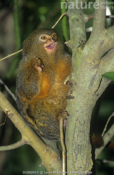 Pygmy marmoset (Cebuella / Callithrix pygmaea) sitting in tree with mouth open, captive, from rainforests of South America, BEHAVIOUR,CALLITHRIX PYGMAEA,MAMMALS,MARMOSETS,MOUTHS,PRIMATES,SOUTH AMERICA,VERTEBRATES,VERTICAL,VOCALISATION, Lynn M Stone