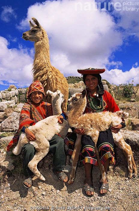 Indian children with domestic Llamas {Lama glama} near Cusco, Peru, South America, BABIES,CHILDREN,CLOTHING,CULTURES,DOMESTIC,LIVESTOCK,LLAMAS,PEOPLE,SOUTH AMERICA,TRADITIONAL,VERTICAL,WORKING,SOUTH-AMERICA, Pete Oxford