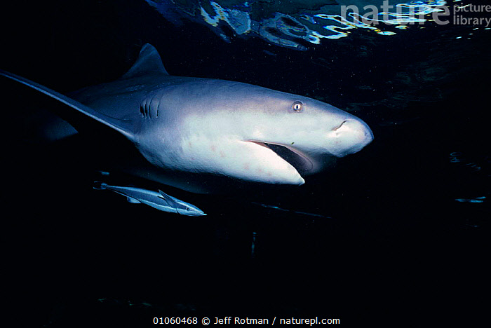 Zambesi / Bull shark {Carcharhinus leucas} with Remora fish Natal, South Africa, AFRICA,CHONDRICHTHYES,CONCEPTS,FISH,HORIZONTAL,INDIAN,JR,OCEAN,PARTNERSHIP,SHARKS,SOUTH,SOUTHERN AFRICA,SYMBIOSIS,SYMBIOTIC,TEMPERATE,UNDERWATER, Fish, Jeff Rotman
