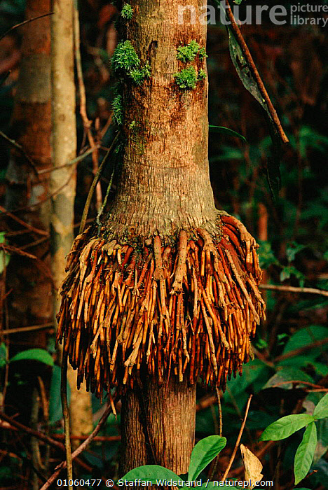 Aerial roots on tree trunk - rainforest adaptation. Manu NP, Peru., ADAPTATION,AERIAL,AMERICA,MANU,NATIONAL PARK,NP,PLANTS,RAINFOREST,ROOTS,SOUTH,SOUTH AMERICA,STAFFAN,SWI,TREE,TREES,TROPICAL,TROPICAL RAINFOREST,TRUNK,VERTICAL,WIDSTRAND,SOUTH-AMERICA, Staffan Widstrand