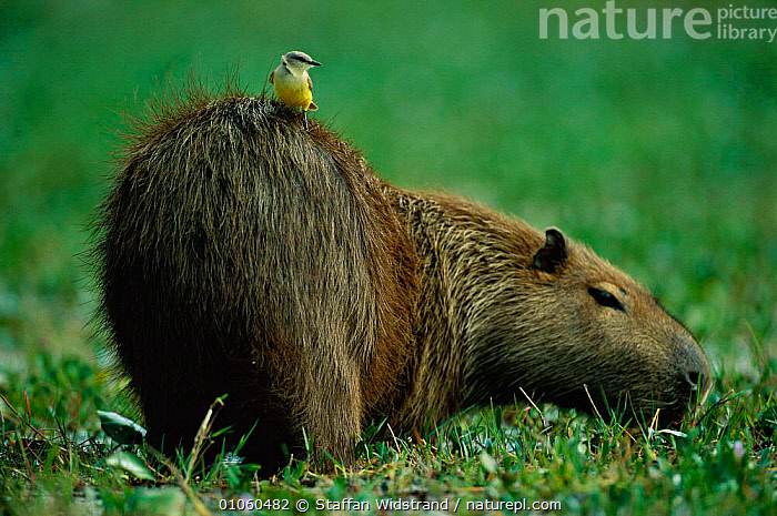 Capybara {Hydrochoerus hydrochaeris} with Cattle tyrant bird on back, Brazil., BIRDS,BRAZIL,CATTLE TIRANT,FUR,MAMMALS,MIXED SPECIES,PORTRAITS,RODENTS,SOUTH AMERICA,WETLANDS, Staffan Widstrand
