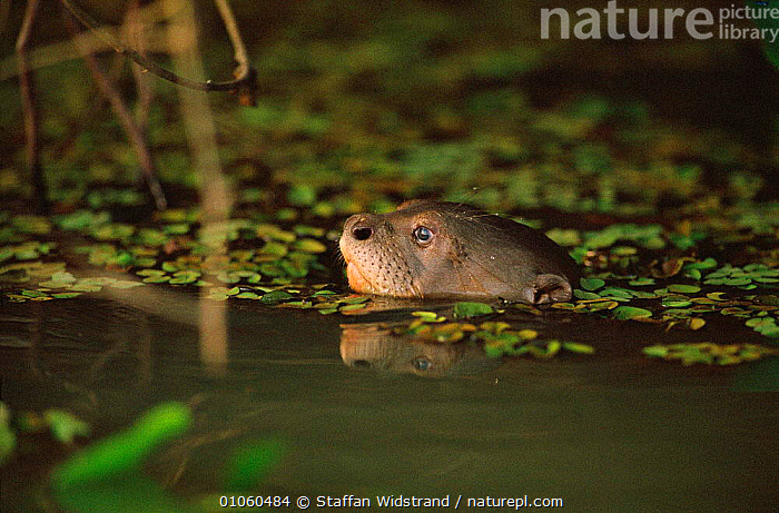 Giant otter swimming {Pteronura brasiliensis} Pantanal, Brazil., BRAZIL,CARNIVORES,FACES,GROSSO,HEAD,MAMMALS,MATO,OTTERS,SOUTH AMERICA,WATER,WETLANDS,Mustelids, Staffan Widstrand