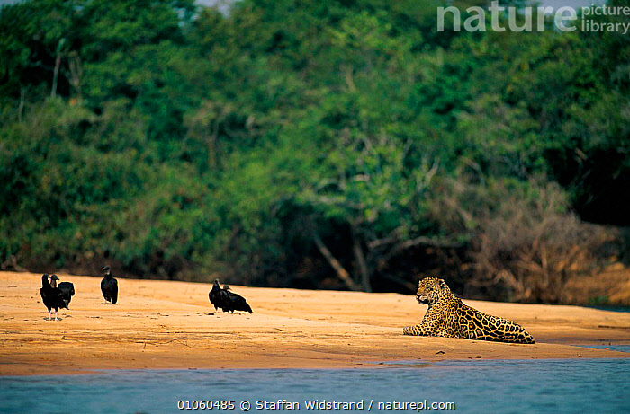 Wild Jaguar {Panthera onca} lying on sand bank by river, and vultures, Pantanal, Brazil., BIRDS,BRAZIL,CARNIVORES,CATS,FOREST,MAMMALS,MIXED SPECIES,RESTING,RIVERS,SOUTH AMERICA,WATER, Staffan Widstrand